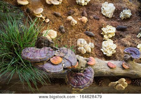 Lingzhi mushroom or Reishi mushroom at food festival stock photo
