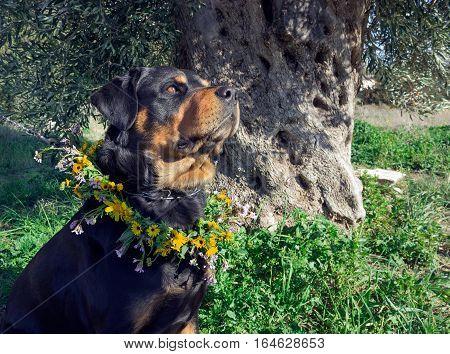 Big dog with a wreath of wildflowers. Rottweiler on walk.