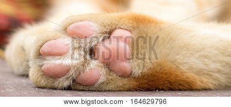 Paws cat close-up. Cute cat cat lying on the wooden floor in the background blurred close up playful cats.