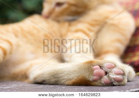 Paws cat close-up. Cute cat cat lying on the wooden floor in the background blurred close up playful cats cats relaxing vacation.