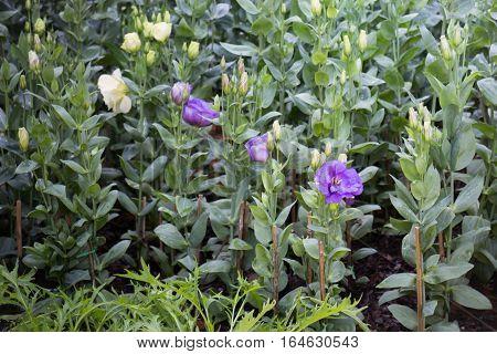 Pretty little purple flower in the garden stock photo