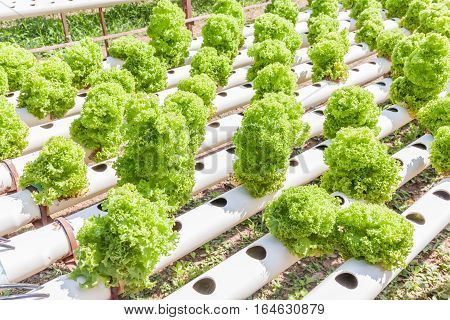 Row of planting of Hydroponics green vegetables hydroponics farm of growing vegetables using nutrient solutions in water without soil.