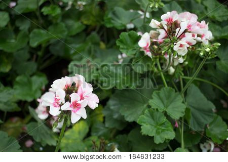 Pink geranium flower blooming in the garden stock photo