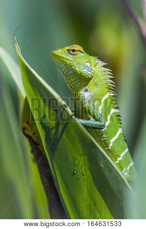 Green forest lizard in Ella, Sri Lanka ; specie Calotes calotes family of Agamidae