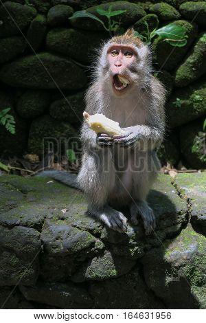 Monkey eating banana at Monkey temple, Ubud, Bali