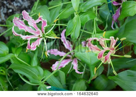 Pink Gloriosa flower blooming in the garden stock photo