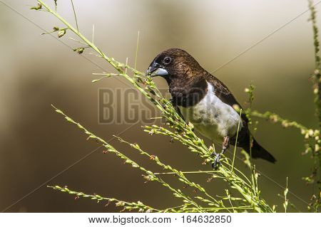 White-rumped munia in Ella, Sri Lanka ; specie Lonchura striata family of Estrildidae