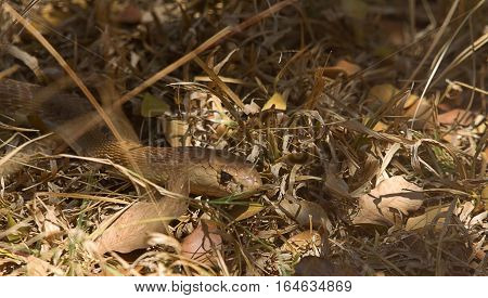 photo of a cobra snake in under growth