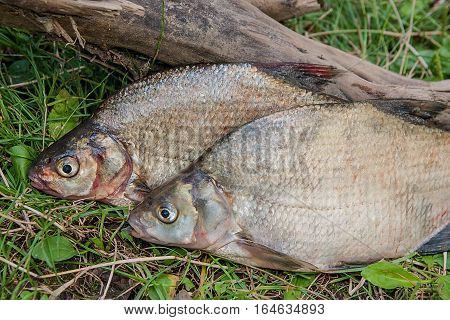 Several Common Bream Fish On Green Grass. Catching Freshwater Fish On Natural Background..