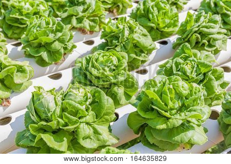 Fresh organic butterhead lettuce vegetable in outdoor hydroponic garden farm hydroponics system of growing vegetables using nutrient solutions in water without soil.