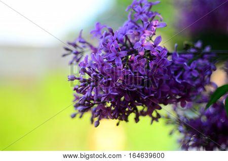Purple Lilac flowers flowers flowers flowers flowers.