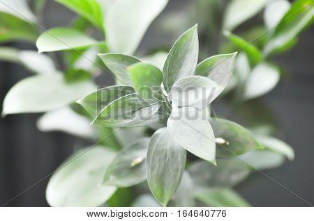 Israeli Ruscus Green leaves in the garden
