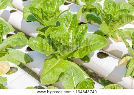 Fresh organic cos salad vegetable in outdoor hydroponic garden farm hydroponics system of growing vegetables using nutrient solutions in water without soil.