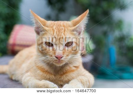 Thailand Cat lethargic. Cute cat cat lying on the wooden floor in the background blurred close up playful cats cats relaxing vacation.