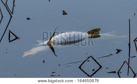 Water strider bug rests on large, dead, freshwater fish that floats in lake water.  Poluted water kills wildlife.