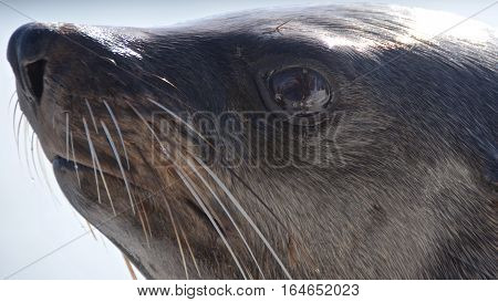 Close-up of cape fur seal at Walvis Bay in Namibia