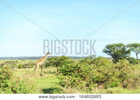 Giraffe In Nairobi National Park, Kenya