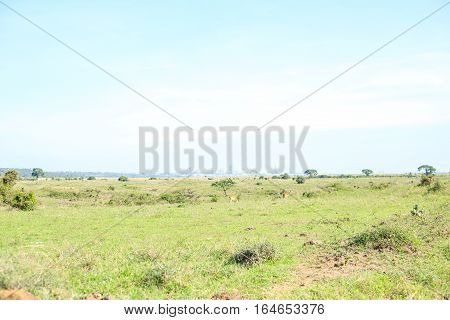 Savannah Landscape With Impala Antelopes Grazing