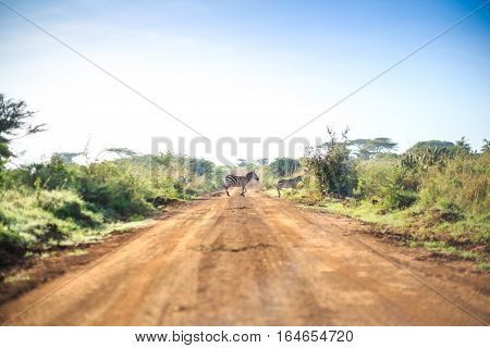 Zebras Crossing An African Dirt, Red Road Through Savanna