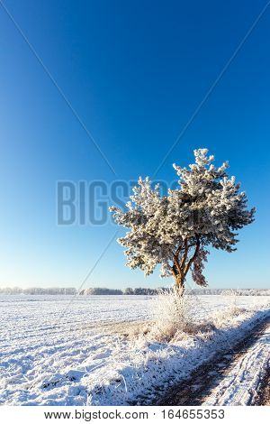 Lonely Frosted Pine Next To Snowy Meadow With Clear Blue Sky