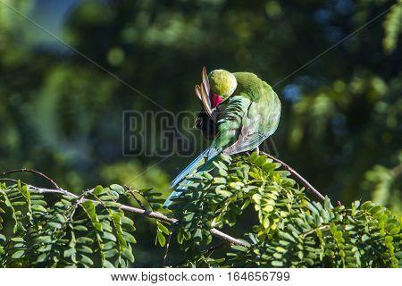 Rose-ringed parakeet in Ella, Sri Lanka ; specie Psittacula krameri family of Psittacidae