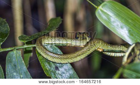 Sri lankan green pit viper in Sinharaja forest reserve, Sri Lanka ;specie Trimeresurus trigonocephalus family of Viperidae