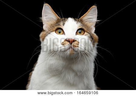 Close-up Portrait of white Kurilian Bobtail Cat with spot on nose looking up on isolated black background, front view