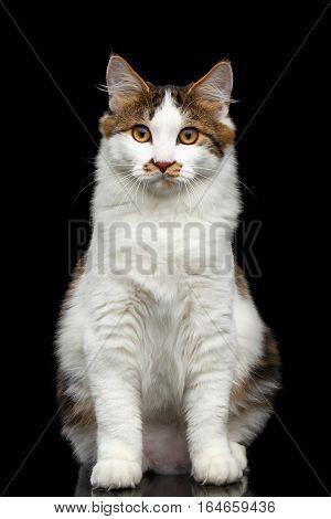 White Kurilian Bobtail Cat with spot on nose sitting on isolated black background