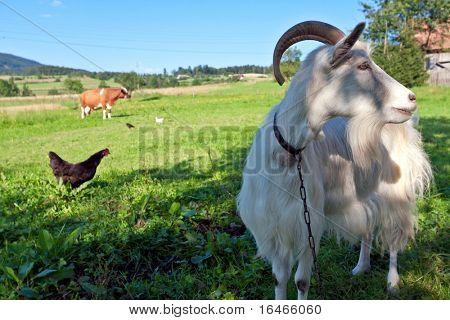 Goat and farm animals
