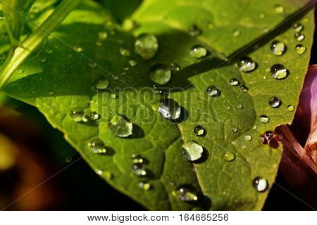 background of dew drops on bright green leaf. Green leaf with droplets closeup