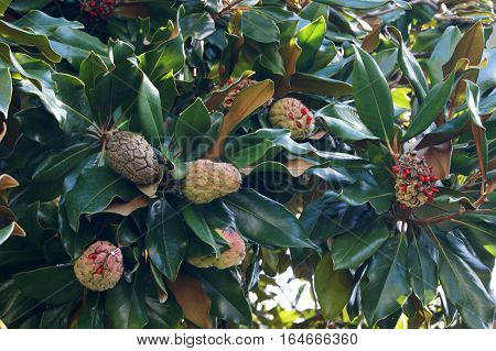 The branches of magnolia grandiflora with fruits