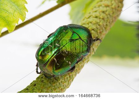Rose chafer crawling on a branch (Cetonia aurata) on a white background