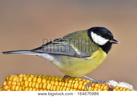 great tit sitting on ear of corn