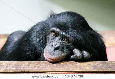 chimpanzee chimp (Pan troglodytes) ape looking to camera sad chimp