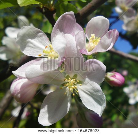 Cherry blossom in the spring orchard petals are white colored on the ends of pink pistil and stamens white with yellow tips