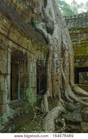 trees in the ancient temple complexes of Indochina