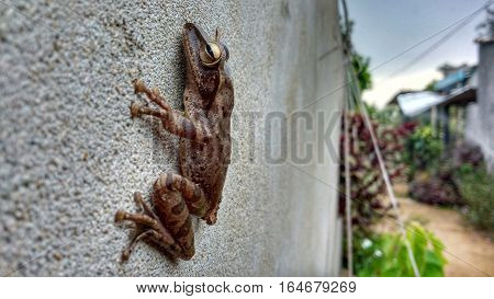 Dark frog on a grey stone wall. Close up shot of an amphibian.