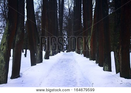 Snow-covered road through a brownish green trees in winter