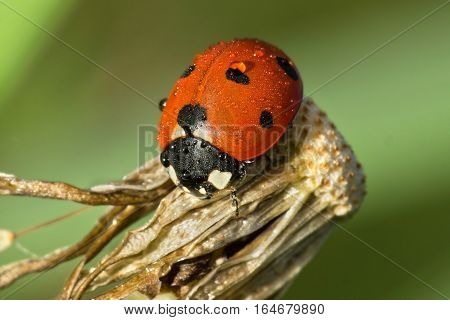 Red ladybug with dewdrops sitting on withered dandelion