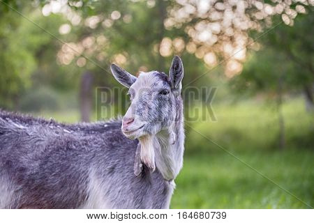 Goat outside in summer, bokeh green baground