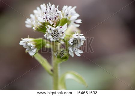 Winter heliotrope (Petasites fragrans) flower head. A female invasive plant with scented pinkish white flowers in the daisy family (Asteraceae)
