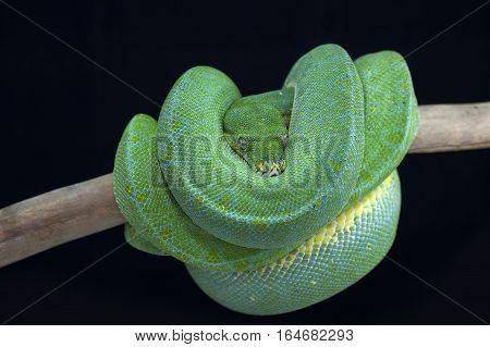 snake tree python isolated on black background
