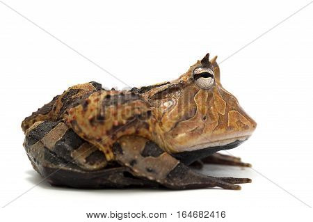 frog isolated on white bacground amphibian reptile
