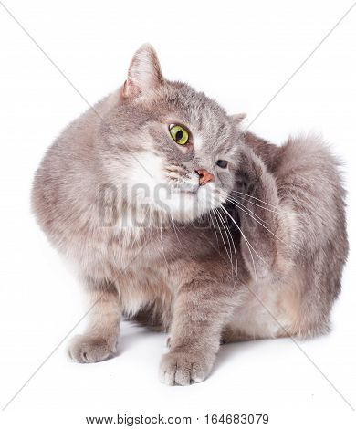 The cat was bent and scratches an ear. A gray cat on a white background in a fancy strange ridiculous pose