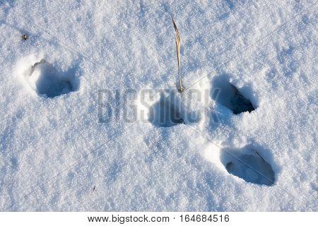 hare tracks in winter in the snow.