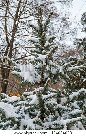 Spangled cold snow young spruce in city park