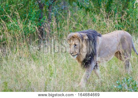 Adult male lion walking through savanna in Entabeni, South Africa game reserve