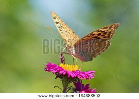 Butterfly fritillary great forest (lat. Argynnis paphia) is a day butterfly from the family nymphalidae (Nymphalidae) on a pink Aster flower