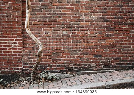 old contorted tree trunk on a background of brick wall. empty space for your text