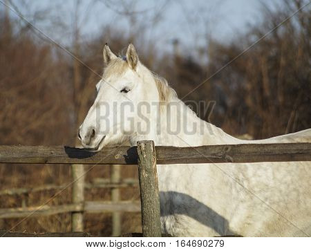 White horse standing in a paddock on the snow near a wooden fence in winter